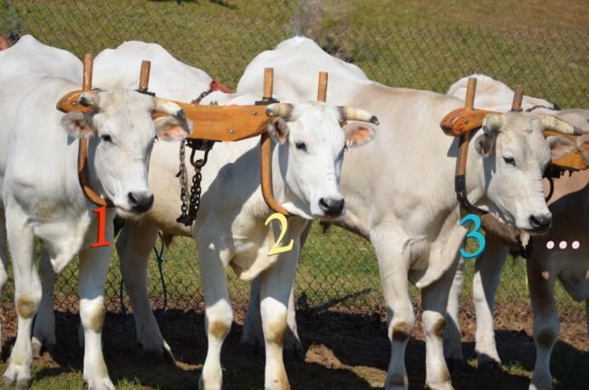 牛に数字 123