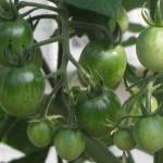 【家庭菜園】 ある程度は野菜食べるようになるよ。ある程度。