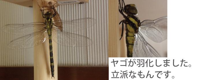 トンボの幼虫。ヤゴを飼った時の話。ちゃんとチッパなトンボになりました。残念ながら羽化は見れなかった。